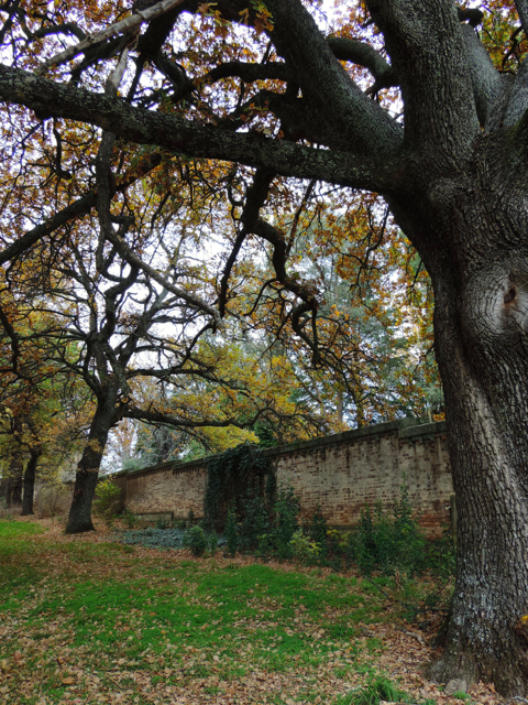 mayday hills quercus robur wall 140519 DSCN3167