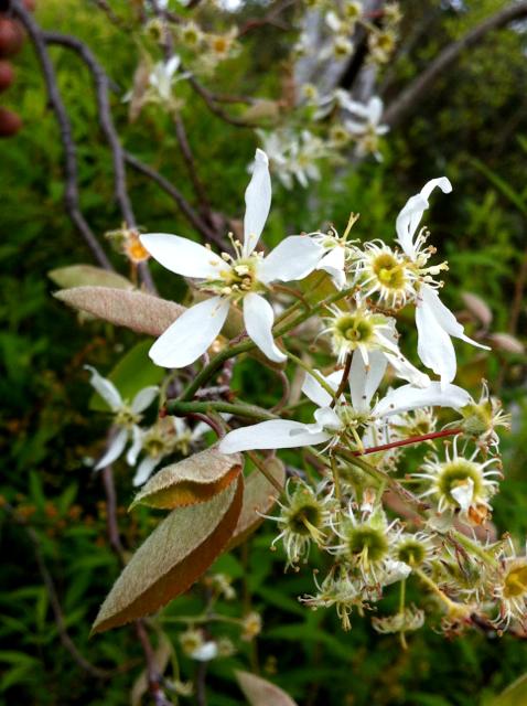wallasey-beaumaris amelanchier canadensis x grandiflora 130928 IMG_4544