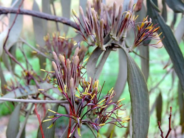 amyema pendula ssp pendula 140525 DSCN3229