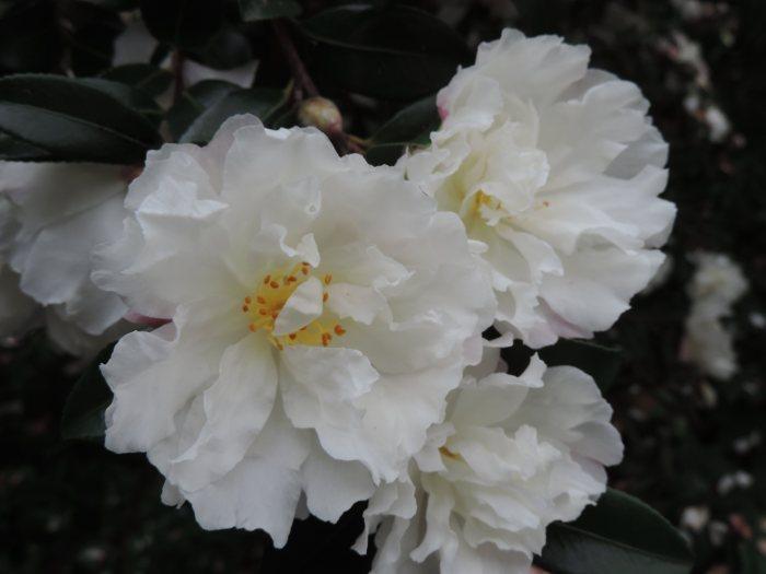 w-b garden camellia niwaki 2978