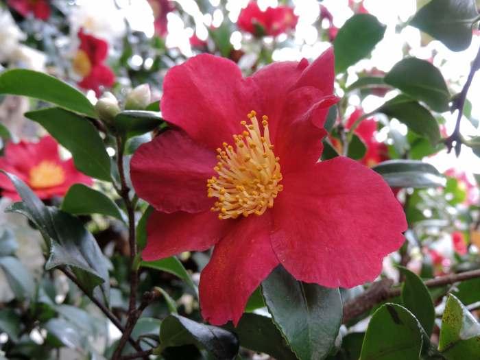 w-b garden camellia yuletide 2981